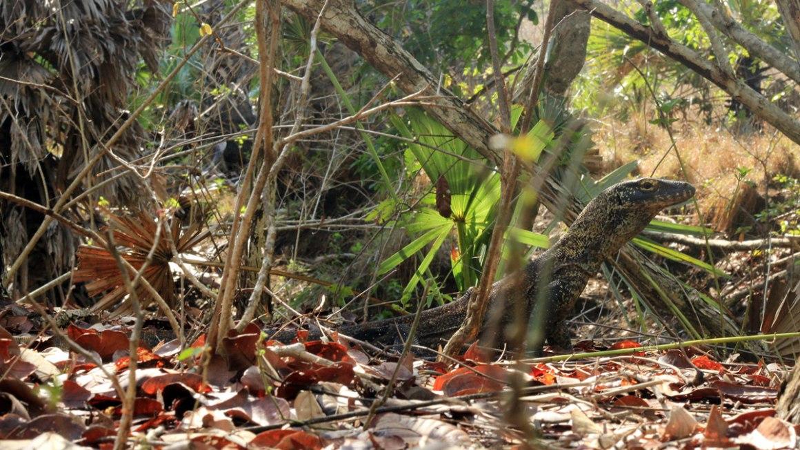 Melihat Komodo di Habitatnya